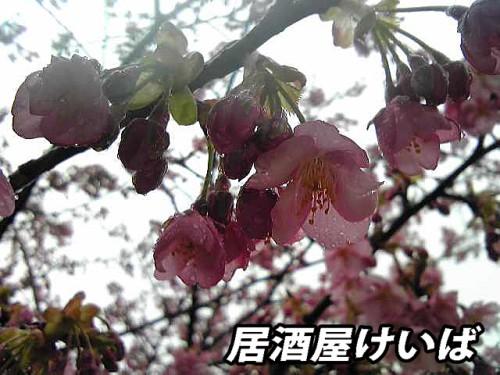 河津桜1.jpg