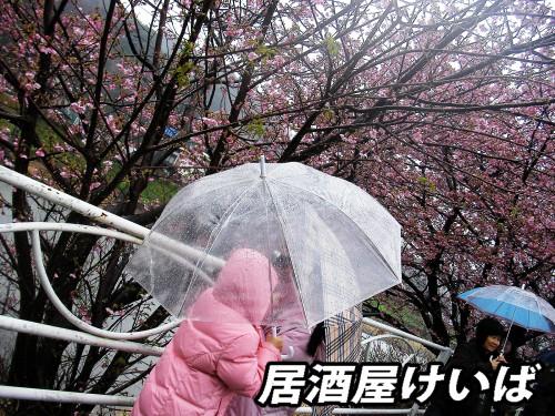 河津桜6.jpg